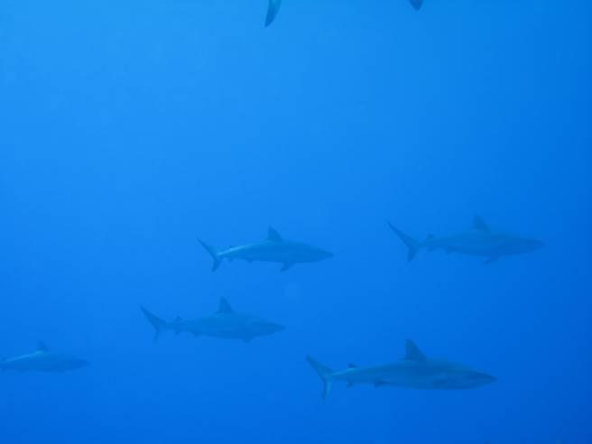 schools of sharks