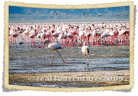 flamingoes-3