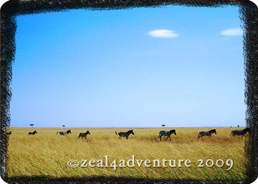 queuing-zebras