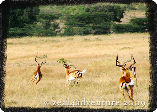 running-gazelles