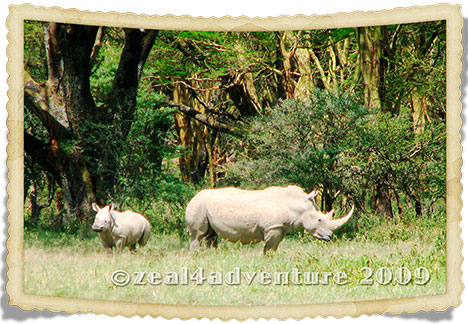 white-rhinos