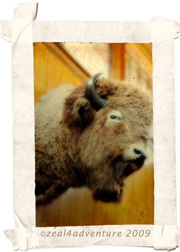 stuffed-buffalo