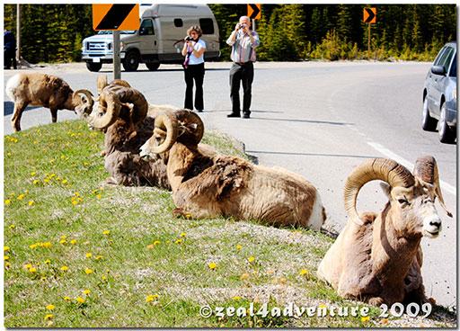 bighorn-sheeps-3