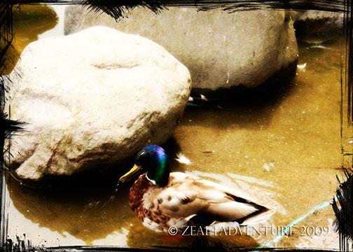 ducks-2