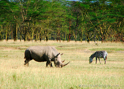 rhino-and-zebra