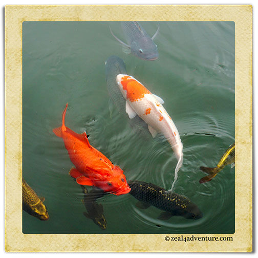 koi-and-tilapia-together